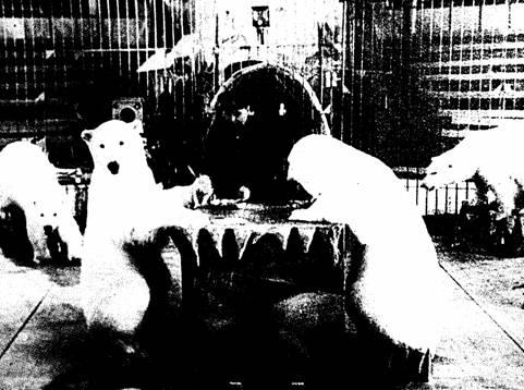 Белые медведи.  Борис Эдер