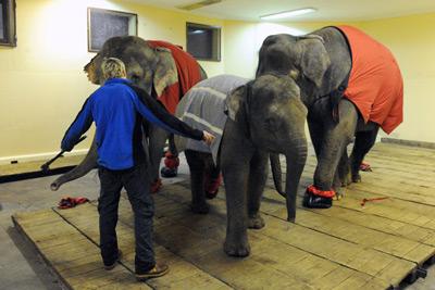 Андрей Дементьев-Корнилов привез в Москву слонов