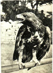 Орел Карлуша всегда чем-нибудь недоволен
