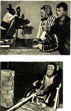 1. Американские психологи супруги Келлер и М. Бриленд, изучающие психологию животных, достигли исключительных результатов в дрессировке животных и птиц. 2. Три шимпанзе лондонского зоопарка — Сэм, Биби и Джози — превратились в тяжелоатлетов и забавляются сдвиганием тяжестей.