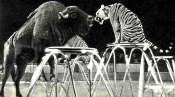 Единственное в мире достижение дрессуры советского укротителя В. ТИХОНОВА, который показывает на манеже зубров, тигров и собаку вместе. Фото «Централъбилъд», Берлин.