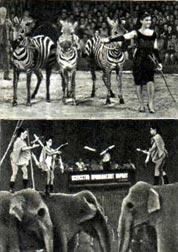 ИВАНА ЦРГАКОВА с дрессированными зебрами Жонглеры на слонах «3 ИРВЕС»
