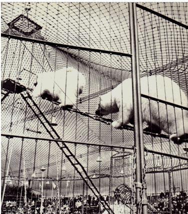 Обложка Журнал Советский цирк. Октябрь 1966 г. : аттракцион с белыми медведями Ивана Рубана.