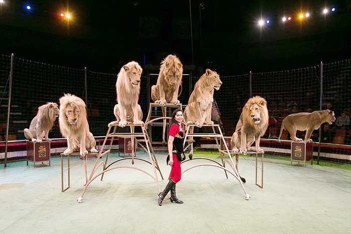 премьера циркового шоу «Вуаля» с участием нового аттракциона «Белые львы» под руководством заслуженной артистки России Надежды Сквирской.