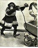 Шимпанзе  дрессировщика  Вилли