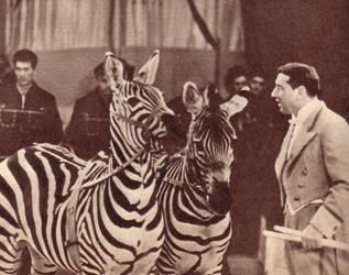 Зебры трудны для дрессировки, но Рудольф Цргак сумел с ними поладить
