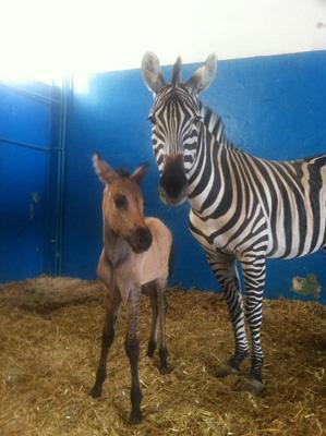 Зеброид и его мама - зебра