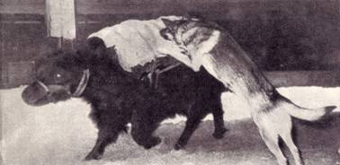 Дрессированные яки и овчарки артиста В. Тихонова