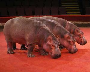 Бегемоты на арене цирка